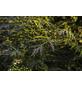 GARTENKRONE Rotlaubiger Holunder, Sambucus nigra »Black Lace «, weiß, winterhart-Thumbnail