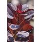 Rotlaubiger Perückenstrauch, Cotinus coggygria »Royal Purple«, Blütenfarbe rotbraun-Thumbnail