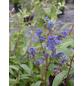 GARTENKRONE Säckelblume, Ceanothus delilianus »Topaze«, blau, winterhart-Thumbnail