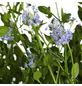 GARTENKRONE Säckelblume Ceanothus impressus »Victoria'«-Thumbnail