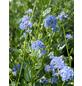 GARTENKRONE Säckelblume, Ceanothus impressus »Victoria«, blau, winterhart-Thumbnail