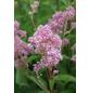 GARTENKRONE Säckelblume, Ceanothus pallidus »Marie Rose«, Blütenfarbe blau-Thumbnail