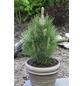 Säulen Schwarzkiefer nigra Pinus »Green Tower«-Thumbnail