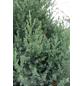GARTENKRONE Säulen-Wacholder, Juniperus chinensis »Stricta«, winterhart-Thumbnail