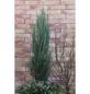 Säulen - Wacholder scopulorum Juniperus »Blue Arrow«-Thumbnail