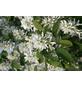 GARTENKRONE Säulenfelsenbirne, Amelanchier alnifolia »Obelisk«, Früchte: süß-säuerlich, Frosthart-Thumbnail