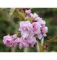 Säulenkirsche, Pruns serrulata »Amanogawa«, Blütenfarbe rosa-Thumbnail