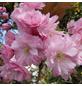 Säulenkirsche, Prunus serrulata »Amanogawa«, Blütenfarbe hellrosa-Thumbnail