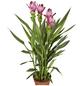 GARTENKRONE Safranwurz, Curcuma alismatifolia, Blüte: rosa/pink-Thumbnail