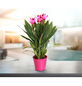 GARTENKRONE Safranwurz, Curcuma alismatifolia, Blütenfarbe: rosa-Thumbnail