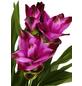 GARTENKRONE Safranwurz »Safranwurz«,  aktuelle max. Pflanzenhöhe 50 cm , Topf-Ø 17 cm-Thumbnail