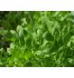 SAATGUT DILLMANN Salatrauke naturbelassen sativa Eruca-Thumbnail