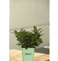 GREENBAR Salbei 3er Set, Salvia Officinalis, Blütenfarbe: blau-Thumbnail