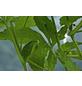 SAATGUT DILLMANN Samen Cyclanthere, Hörnchenkürbis bio-Thumbnail