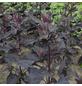 SAATGUT DILLMANN Samen Gartenmelde Rote bio-Thumbnail