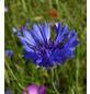 SAATGUT DILLMANN Samen, Kornblume blau naturbelassen ungebeizt-Thumbnail