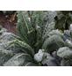 SAATGUT DILLMANN Samen Palmkohl Nero di Toscana bio-Thumbnail