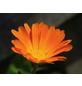 SAATGUT DILLMANN Samen, Ringelblume naturbelassen ungebeizt-Thumbnail