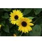 SAATGUT DILLMANN Samen Sonnenblume gelb bio-Thumbnail