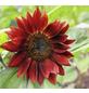 SAATGUT DILLMANN Samen Sonnenblume rot bio-Thumbnail