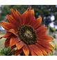 SAATGUT DILLMANN Samen Sonnenblume Velvet Queen bio-Thumbnail