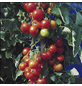 SAATGUT DILLMANN Samen Tomate Hildares, F1 ungebeizt-Thumbnail