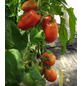 SAATGUT DILLMANN Samen Tomate Ranger, F1 ungebeizt-Thumbnail
