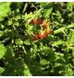 SAATGUT DILLMANN Samen Tomate (Wild-) Rote Murmel bio-Thumbnail