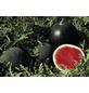 SAATGUT DILLMANN Samen Wassermelone Red Star, F1 ungebeizt-Thumbnail