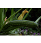 SAATGUT DILLMANN Samen Zucchini Cocozelle von Tripolis bio-Thumbnail