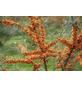 GARTENKRONE Sanddorn, Hippophae rhamnoides »Leikora« Blüten: gelb, Früchte: orange, essbar-Thumbnail