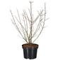GARTENKRONE Sanddorn, männlich Hippophae rhamnoides »Pollmix«-Thumbnail