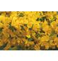 Sandginster, Genista pilosa »Vancouver Gold«, Blütenfarbe gelb-Thumbnail