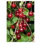 GARTENKRONE Sauerkirsche, Prunus cerasus »Schattenmorelle«, Früchte: süß-säuerlich, zum Verzehr geeignet-Thumbnail