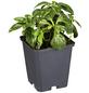GARTENKRONE Schattengrün, Pachysandra terminalis »Compacta«, weiß, winterhart-Thumbnail