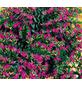 Scheinmyrthe, hyssopifolia Cuphea »Cuphea«-Thumbnail