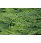 GARTENKRONE Scheinzypresse, Chamaecyparis lawsoniana »White Spot«, winterhart-Thumbnail