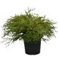 Scheinzypresse obtusa Chamaecyparis »Kamarachiba«-Thumbnail