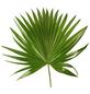 GARTENKRONE Schirmpalme Livistona rotundifolia-Thumbnail
