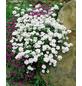 RockCollection® Schleifenblume, Iberis sempervirens, weiß, winterhart-Thumbnail