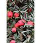 Schmale Säulen-Eibe, Taxus baccata »Fastigiata Robusta«, Blattfarbe grün-Thumbnail