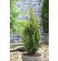 Schmaler Säulenlebensbaum, Thuja occidentalis »Degroot Spire«, Lieferhöhe: 20 - 25 cm-Thumbnail