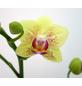 Schmetterlingsorchidee, hybride Phalaenopsis, Blüte: gelb, mit 2 Rispen-Thumbnail