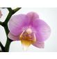 Schmetterlingsorchidee, hybride Phalaenopsis, Blüte: rosa, mit 2 Rispen-Thumbnail