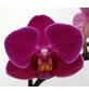 Schmetterlingsorchidee, hybride Phalaenopsis, Blüte: violett, mit 2 Rispen-Thumbnail