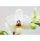 Schmetterlingsorchidee, hybride Phalaenopsis, Blüte: weiß/lila, mit 2 Rispen-Thumbnail