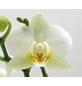 Schmetterlingsorchidee, hybride Phalaenopsis, Blüte: weiß, mit 2 Rispen-Thumbnail