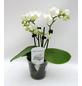 Schmetterlingsorchidee, hybride Phalaenopsis, Blüte: weiß, mit 3 Rispen-Thumbnail