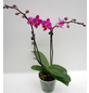 Schmetterlingsorchidee, hybride Phalaenopsis, Blüte: zweifarbig, mit 2 Rispen-Thumbnail