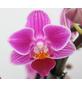 Schmetterlingsorchidee, hybride Phalaenopsis, Blüte: zweifarbig, mit 3 Rispen-Thumbnail